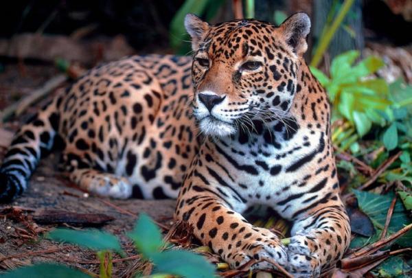 Animales autóctonos de Argentina - Yaguareté o jaguar (Panthera onca)