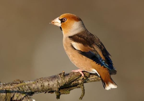 Animales frugívoros: características y lista de ejemplos - Ejemplos de aves que son frugívoras