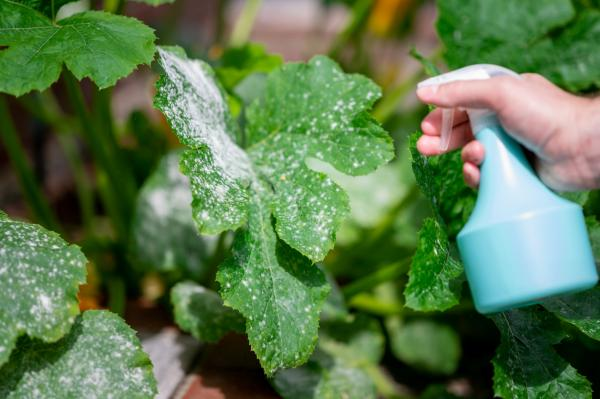Leche para las plantas: beneficios y cómo usarla - Leche como fungicida