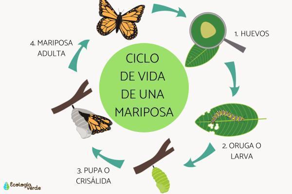 Elciclo de vida de una mariposa: etapas e imágenes