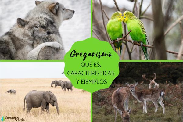 Gregarismo: qué es, ejemplos y características
