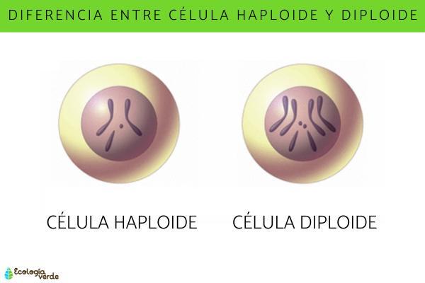 Diferencia entre célula haploide y diploide
