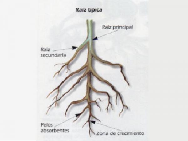 Partes de la raíz y sus funciones - Otros tipos de raíces y sus funciones