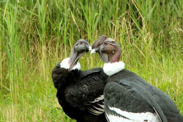 17 animales en peligro de extinción en Ecuador - Cóndor andino (Vultur gryphus)