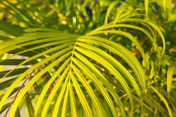 Cuidados de la Chamaedorea - Mi Chamaedorea tiene las hojas secas, ¿por qué?