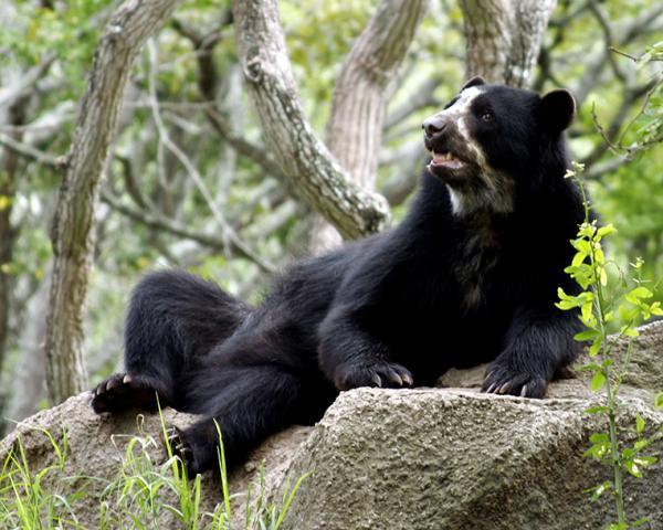 17 animales en peligro de extinción en Ecuador - Oso de anteojos o andino (Tremarctos ornatus)