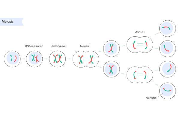 Función de reproducción: en qué consiste y por qué es importante - Función de reproducción celular