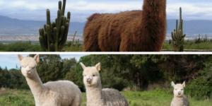 Diferencia entre llama y alpaca