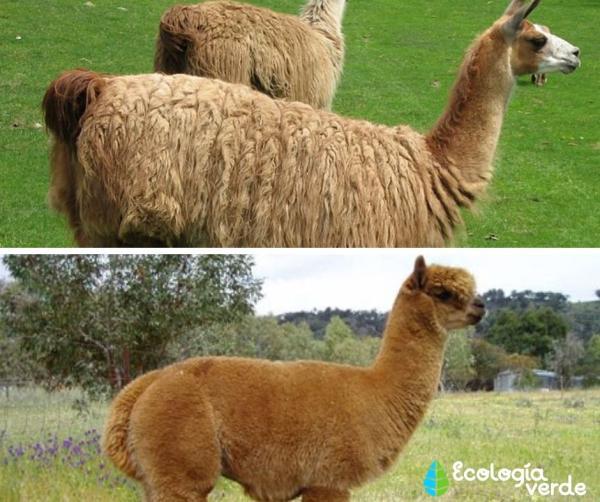 Diferencia entre llama y alpaca - Diferencia entre llama y alpaca - resumen