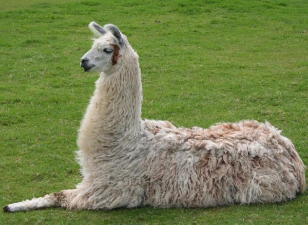 Diferencia entre llama y alpaca - Llama: características