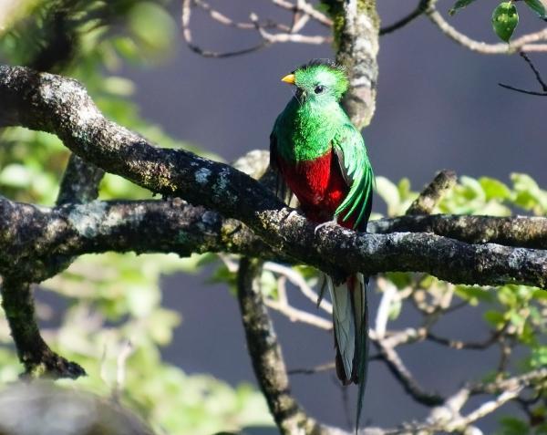 Por qué está en peligro de extinción el quetzal en México - Qué podemos hacer para salvar al quetzal en México y Guatemala