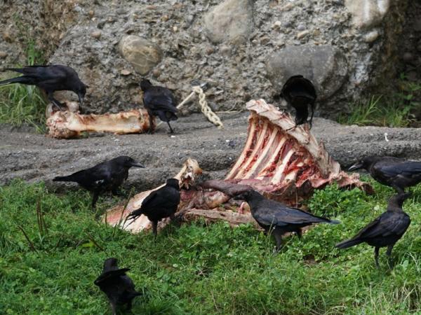 Cuáles son los animales carroñeros: ejemplos - Ejemplos de aves carroñeras