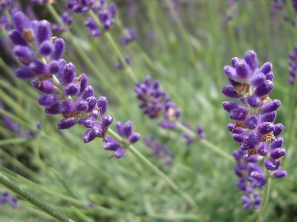 12 tipos de lavanda - Lavandula angustifolia o espliego
