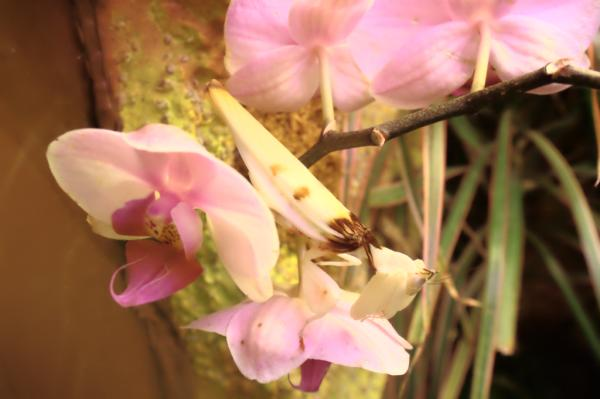 +20 animales que se camuflan - Mantis orquídea rosada