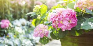 Cómo cuidar las hortensias en maceta