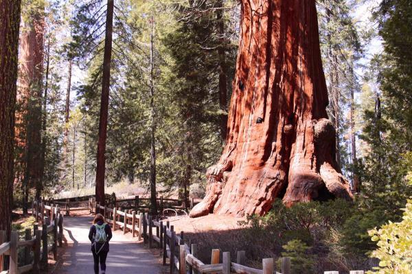 15 curiosidades de la naturaleza que te sorprenderán - Los árboles más altos y viejos del mundo