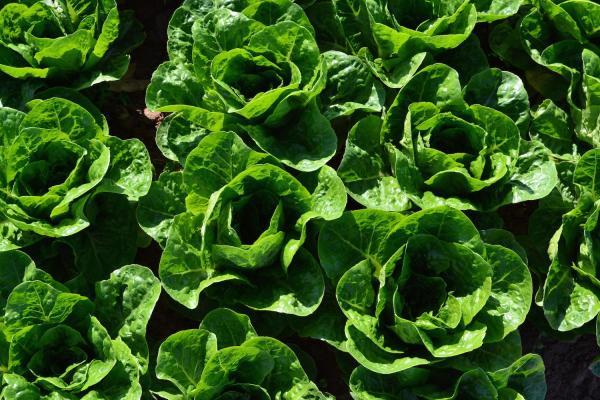 ¿Qué hortalizas plantar en verano? - Lechuga