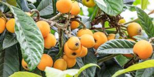 Plantar nísperos: cuándo y cómo hacerlo