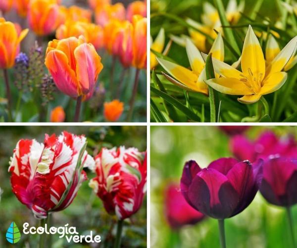 Tipos de tulipanes