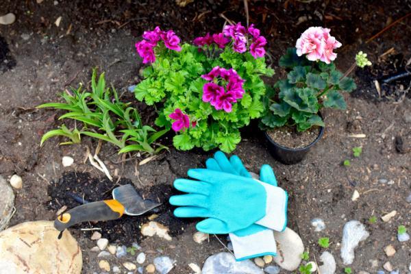 Cuidados de las gitanillas - Maceta, sustrato y abono para las gitanillas