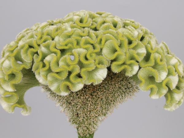 15 flores verdes - Celosia cristata o cresta de gallo