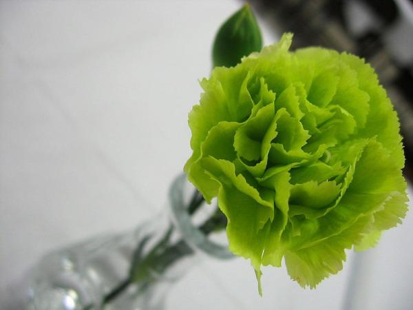 15 flores verdes - Dianthus caryophyllus o clavel