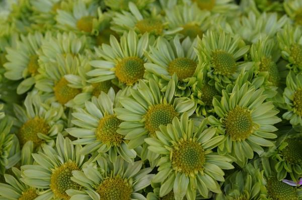 """15 flores verdes - Echinacea purpurea """"Green jewel"""" o margarita verde"""