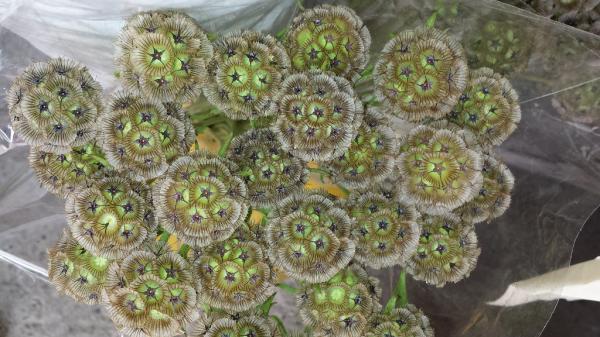 15 flores verdes - Scabiosa stellata o escabiosa menor