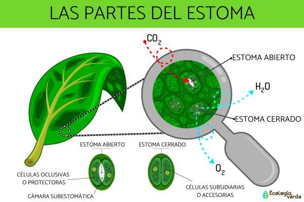 Partes del estoma - Cuáles son las partes del estoma de una planta