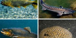 40 peces de río: tipos, lista de nombres e imágenes