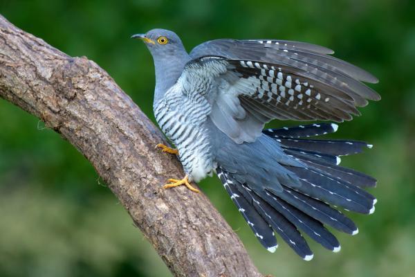 Pájaro cuclillo: incubación y ambiente - Ambiente del pájaro cuclillo - hábitat