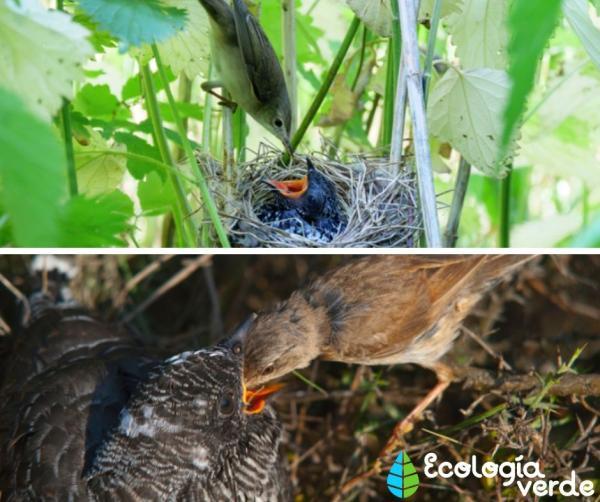Pájaro cuclillo: incubación y ambiente - Incubación del pájaro cuclillo