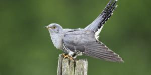 Pájaro cuclillo: incubación y ambiente