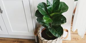 Ficus lyrata: cuidados