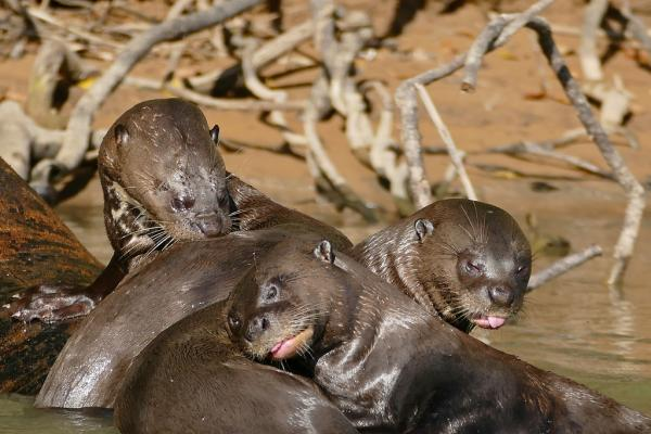 34 animales en peligro de extinción en Argentina - Nutria gigante o lobo de río (Pteronura brasiliensis)