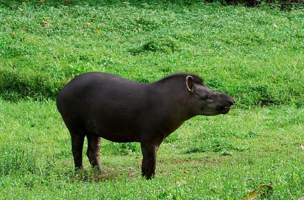 34 animales en peligro de extinción en Argentina - Tapir (Tapirus)