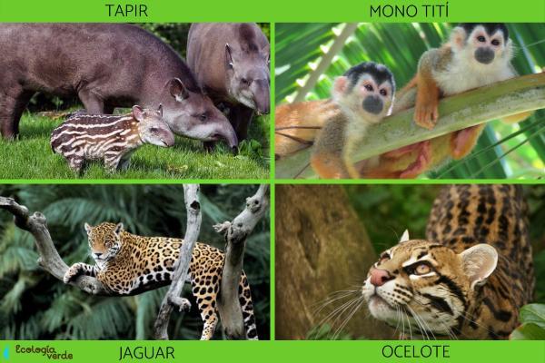 Animales de Costa Rica - Animales en peligro de extinción en Costa Rica