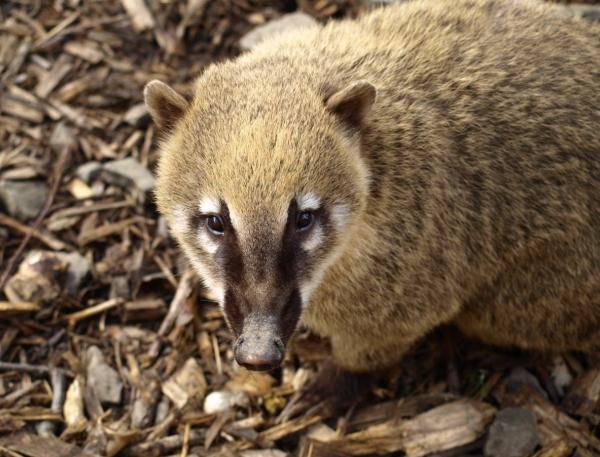 Animales de Costa Rica - Coatí
