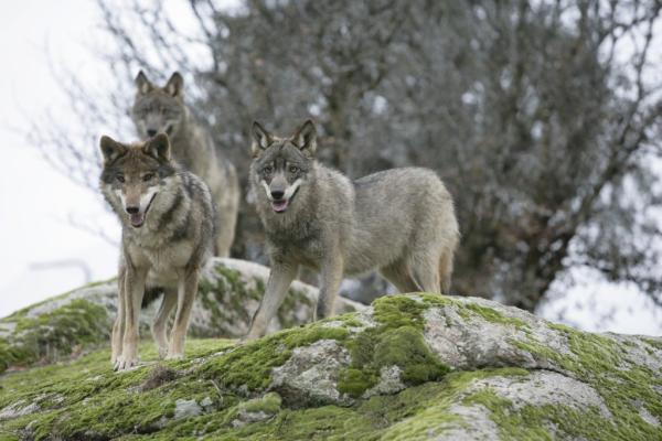 Por qué está el lobo ibérico en peligro de extinción - Cómo ayudar al lobo ibérico para que no se extinga - iniciativas de protección
