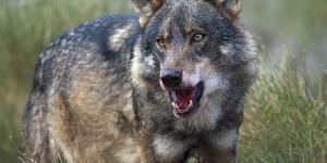 Por qué está el lobo ibérico en peligro de extinción