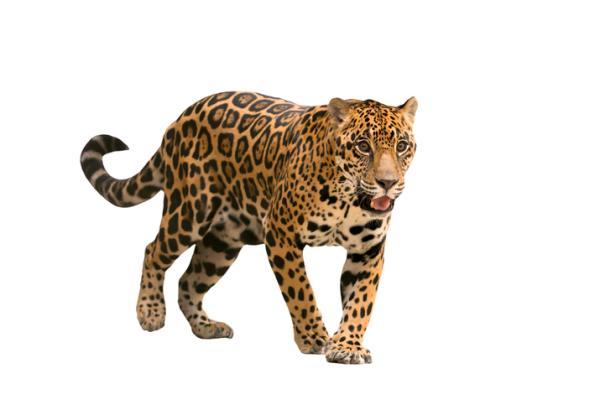 Por qué el jaguar está en peligro de extinción - Características del jaguar
