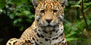 Por qué el jaguar está en peligro de extinción