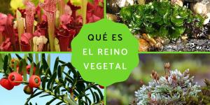 Reino Plantae: qué es, características, clasificación y ejemplos