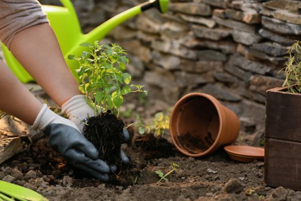 Cómo plantar menta - Cómo plantar menta en la tierra o suelo