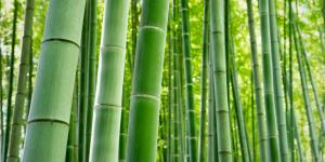 Cómo cuidar un bambú