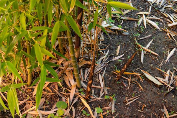 Cómo cuidar un bambú - Como cuidar un bambú cuando se pone amarillo