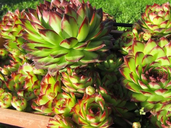 Suculentas de colores: cómo cultivarlas - Cómo se hacen las suculentas de colores