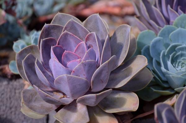 Suculentas de colores: cómo cultivarlas