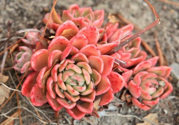 Suculentas de colores: cómo cultivarlas - Tipos de suculentas de colores