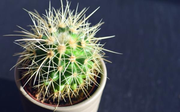Cómo reproducir cactus por esquejes - Cuidados básicos para los esquejes de cactus y los hijuelos